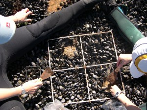 Sampling invasive mussels in Port Nolloth, South Africa.