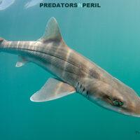 Predators in Peril